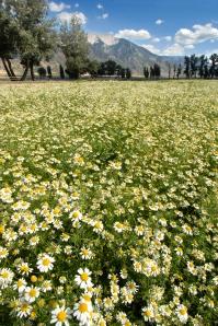 cultivate_chamomile